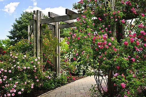 růžová zahrada: pnoucí a sadové růže