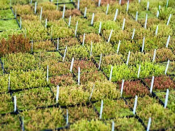 semenáčky špirlic v profesionální pěstírně