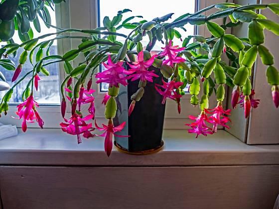 Vánoční kaktus (Schlumbergera) každoročně bohatě kvete.