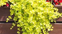 Vrbina penízková nabídne pro společné výsadby svěží žluto-zelené listy.