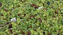 Semenáčky okrasné kopřivy s pestrými listy