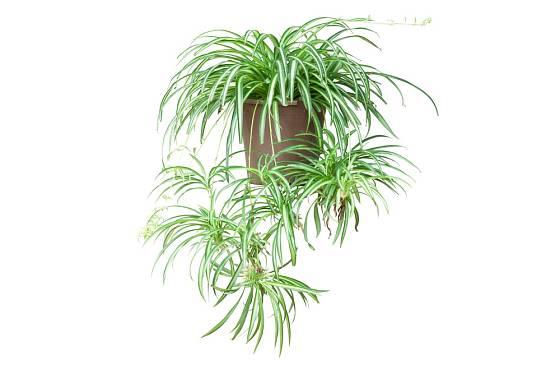 Pro svůj vzhled si zelenec v angličtině vysloužil přezdívku spider plant (pavoučí rostlina).