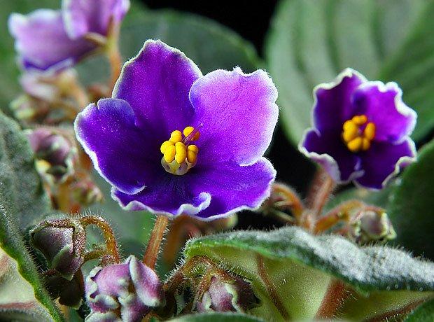 africká fialka  (Saintpaulia ionantha)
