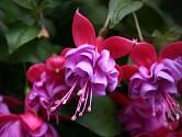 Fuchsie patří k oblíbeným balkonovým rostlinám.