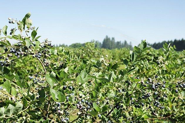 Kanadská borůvka je nenáročný keř. Potřebuje pouze slunné stanoviště, dostatečný prostor k růstu a kyselou půdu.