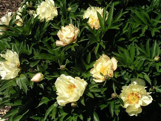 Paeonia LemonDream
