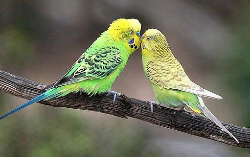 párek papoušků vlnkovaných