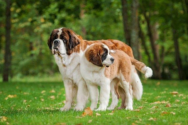 Svatobernardský pes již po staletí nosí přezdívku něžný obr.