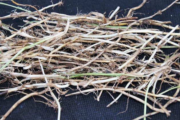 Nejvíce léčivé jsou hlavně oddenky pýru vyryté na podzim, po odkvětu.