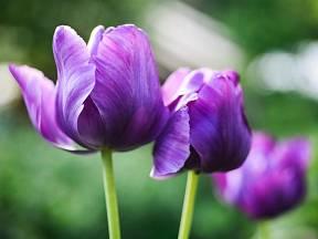 Papouščí tulipány zdobí nevšední tvary i barvy květů