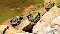 Skokani zelení na kamenech