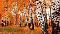 Podzimní zbarvení bříz.