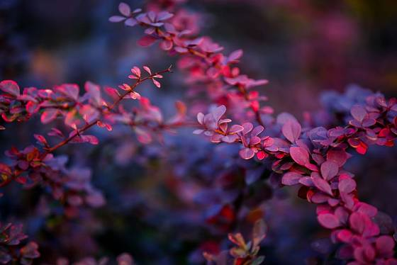 Červenolistá varieta dřišťálu Thunbergova