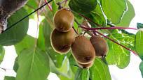 Rostliny kiwi nejsou obvykle napadány žádnými škůdci ani chorobami.