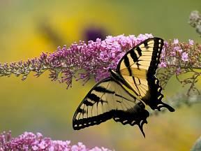 Otakárek ( Papilio glaucus) na komuli.