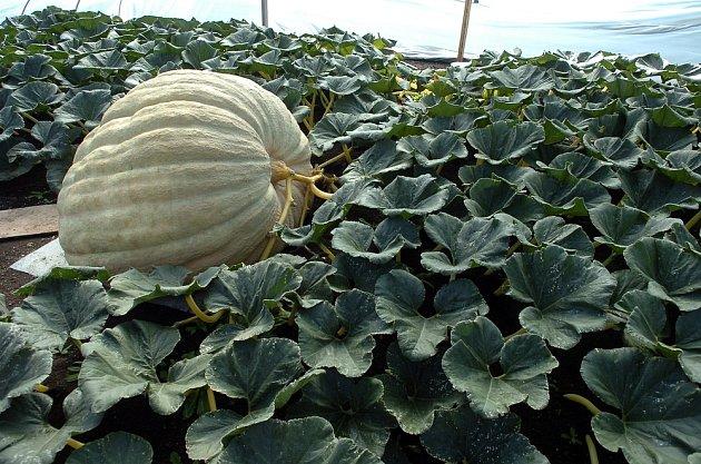 Plod pravidelně přesouvejte tak, aby byl stonek kolmo na šlahouny.