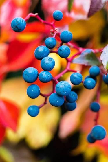 Přísavníky plodí dekorativní bobule, které chutnají ptákům
