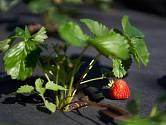 Založte nový jahodový záhon a můžete se těšit na příští bohatou sklizeň.