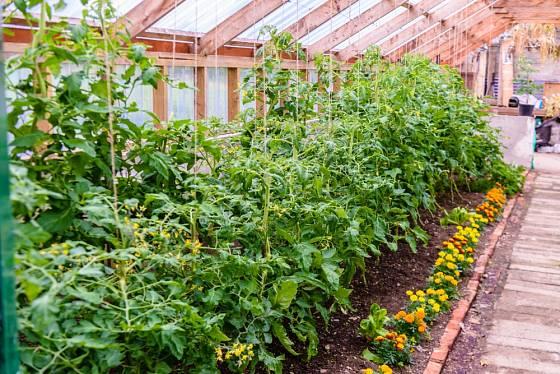 Sadbu rajčat ochrání vysázení měsíčku či afrikánu