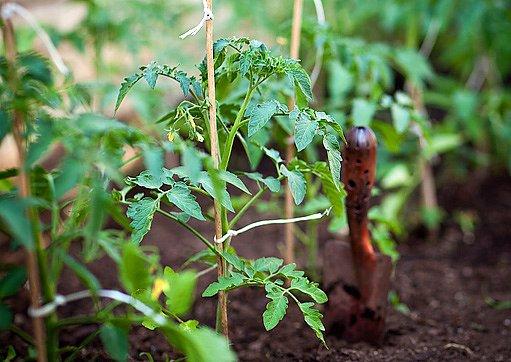 sazenice rajčat ve skleníku