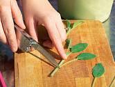 Čistým ostrým nožem je seřízneme těsně pod druhým párem dospělých listů