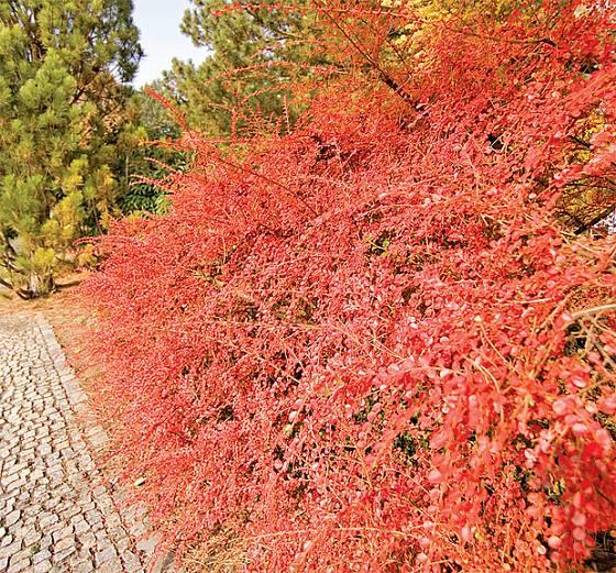 Skalník Hjelmqvistův barvou a odstávajícími větvemi připomíná ohňostroj.