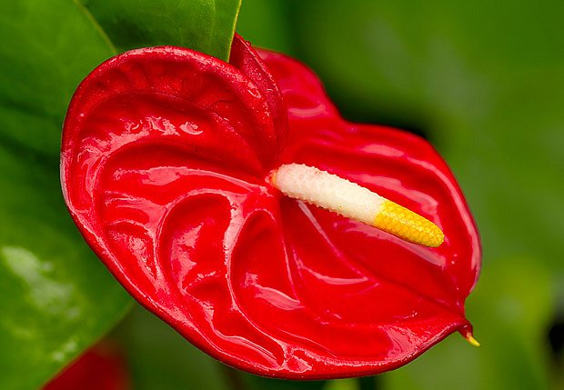 toulitka (Anthurium scherzerianum)