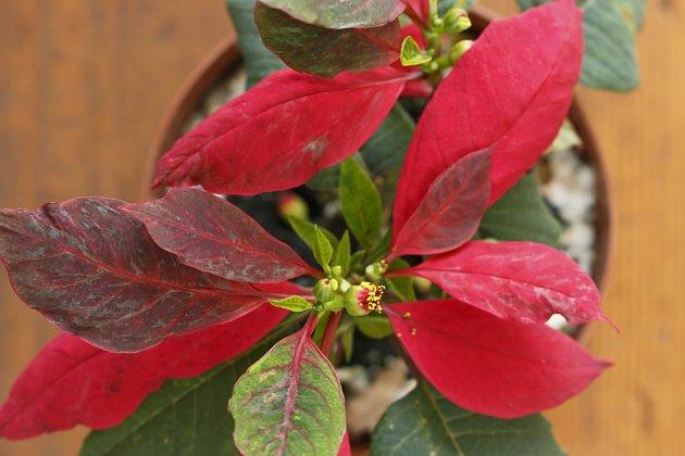 vybarvující se listeny vánoční hvězdy