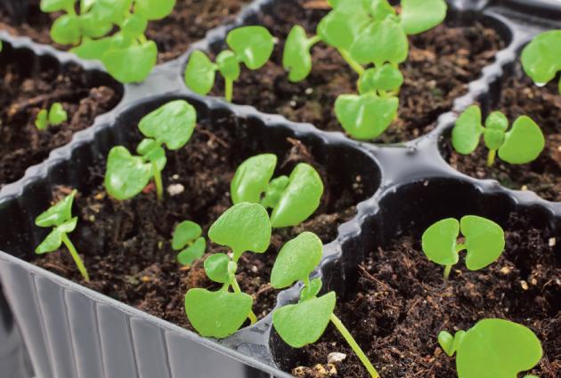 Bazalku se vyplatí v dubnu předpěstovat a po pominutí mrazíků vysadit