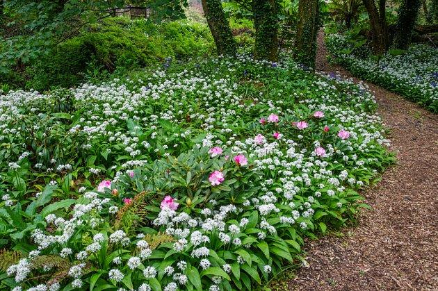 Česnek medvědí je v době květu atraktivní ozdobou zahrady.
