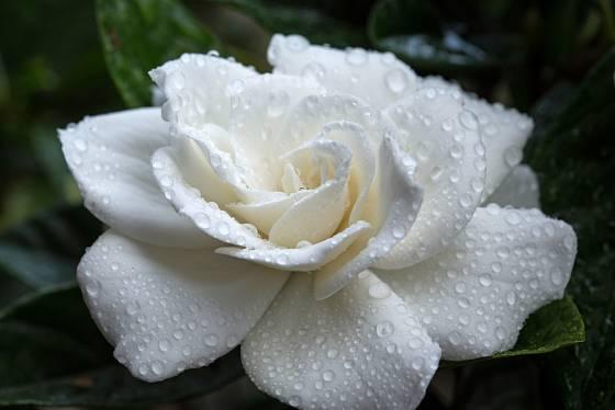 Květ gardénie, jedné z nejkrásnějších pokojových rostlin