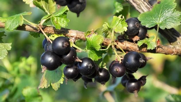 Josta (Ribes nidigrolaria) je kříženec černého rybízu a srstky angreštu.