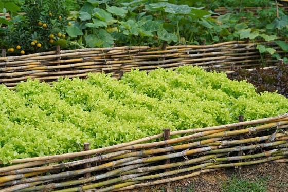 Kadeřavý salát je dekorativní na záhonu i na talíři