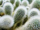 kaktusy mammillaria