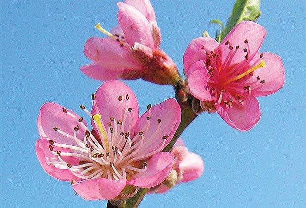 Miskovitý květ broskvoně