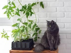 Dejte si pozor, aby vaše kočka nesnědla listy nebo stonky rajčat.