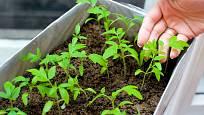 Rajčata lze předpěstovat i v krabici - díky větším rozestupům při setí mají prostor