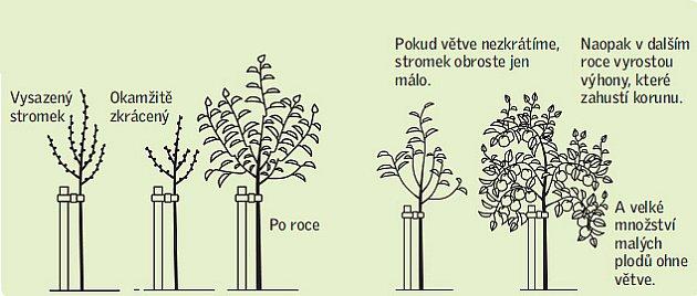 Jaký vliv má krácení výhonů po výsadbě