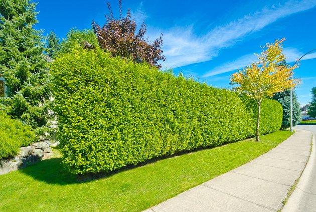 Živý plot ze zeravů je hustý v létě i v zimě.