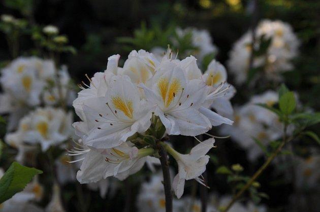 Čistě bílé květy má kultivar Persil, až 2 m vysoký a 1,5 m široký
