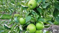 Jablka Granny Smith jsou zelená i v době zralosti.