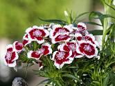 Hvozdík bradatý (Dianthus barbatus).