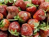 jahody plíseň
