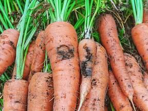 Jak chránit zeleninu před ničícími larvami muchnic?