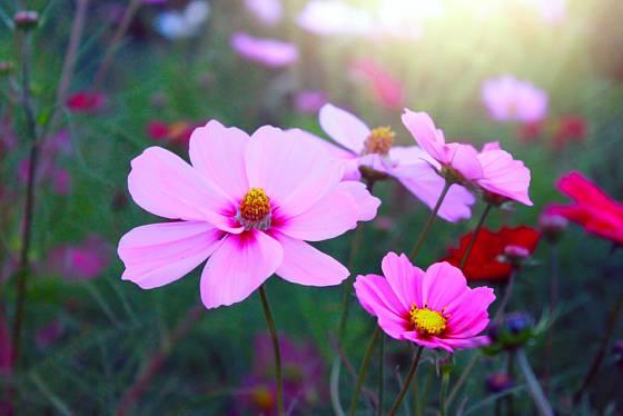 Krásenky jsou jedny z nějvděčnějších letniček