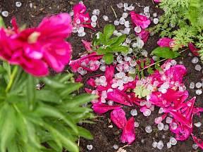 První pomoc pro květiny poškozené krupobitím nebo deštěm