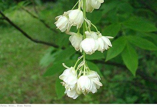 květy klokoče