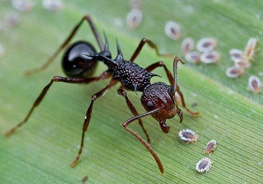 mravenec u kolonie červců