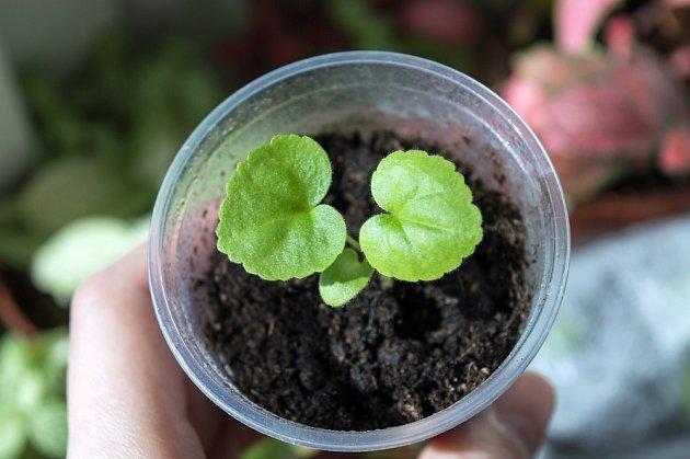 Muškáty si můžeme předpěstovat i ze semen.