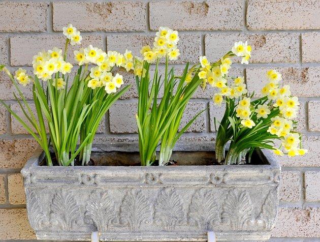 Narcisy vyniknou v šedém kameninovém truhlíku.